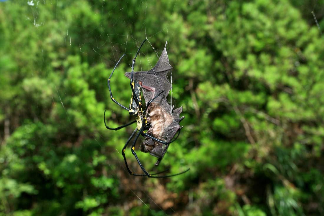 Летучие мыши – желанная добыча пауков